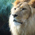 LION 1 - Free Images
